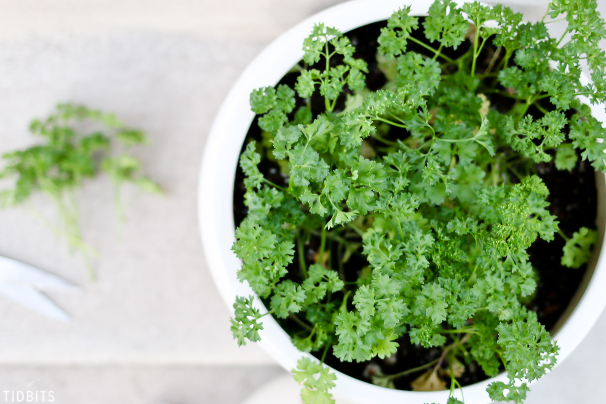 Must know tips for container herb gardening