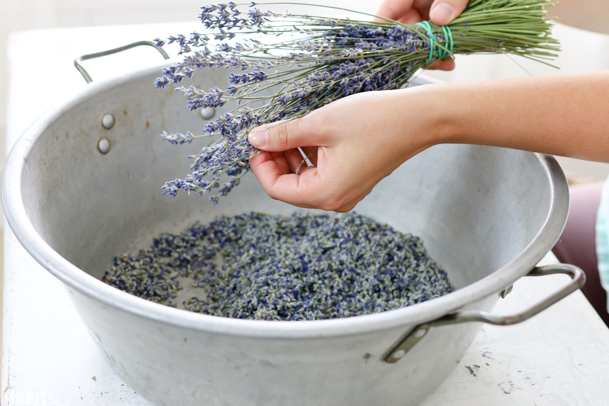 remove dried lavender buds of stem with fingers