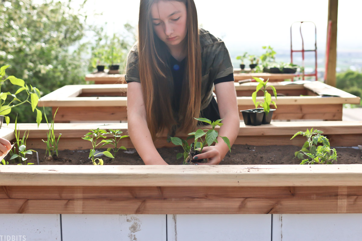 young girl is planting vegetable plants in a raised garden bed